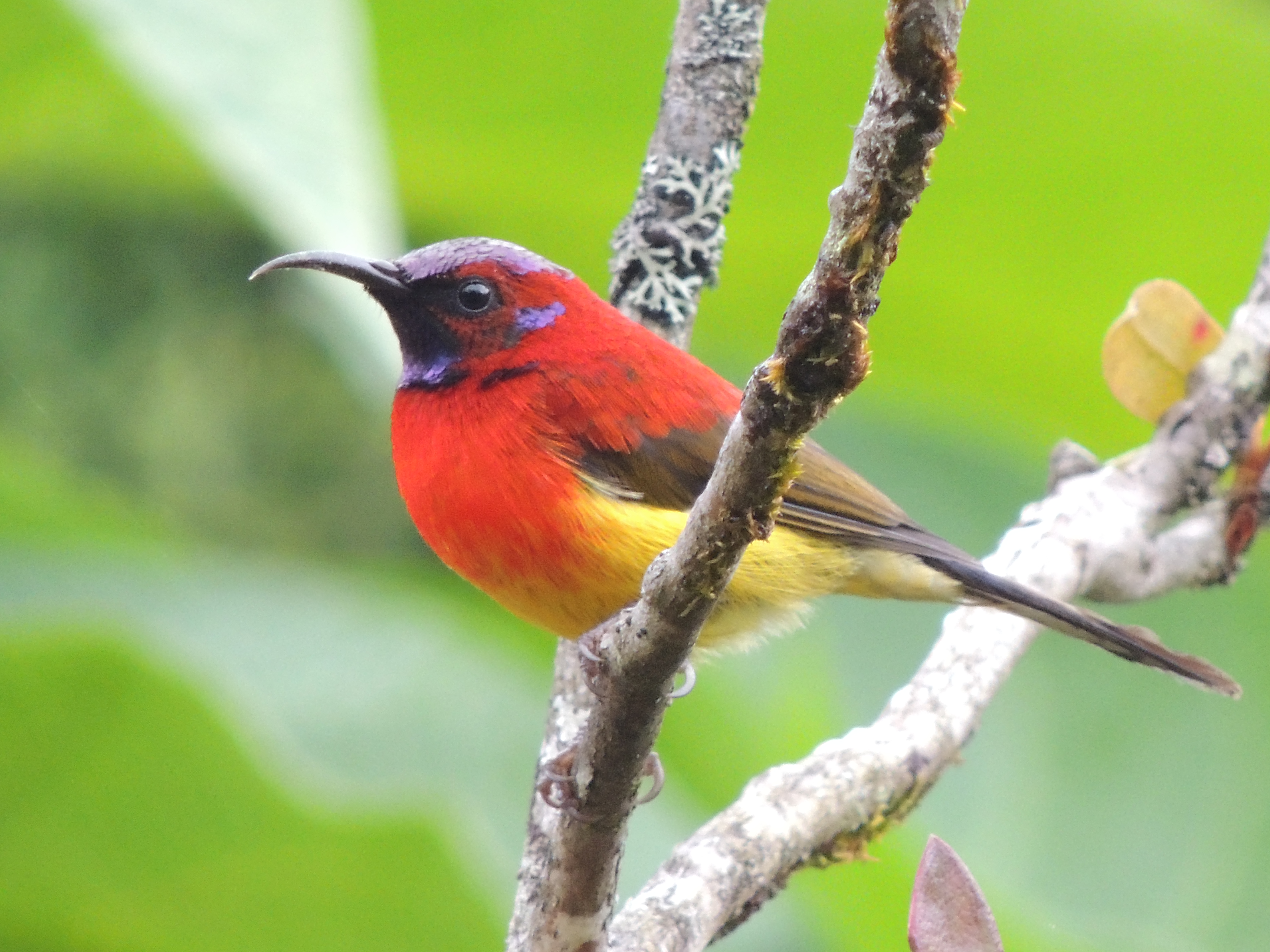 Birding Tour Doi Inthanon